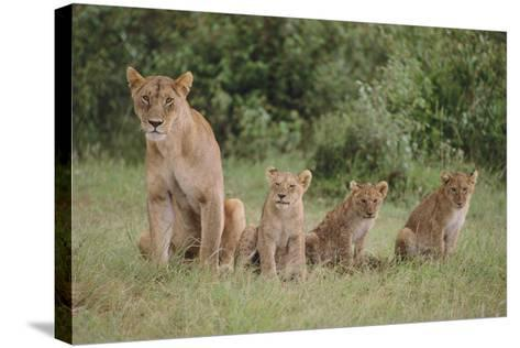 Lioness and Cubs in Grass-DLILLC-Stretched Canvas Print