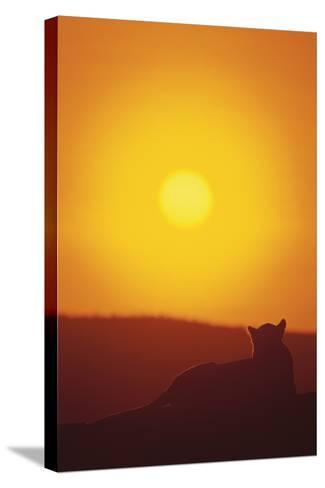 Lion at Sunset-DLILLC-Stretched Canvas Print