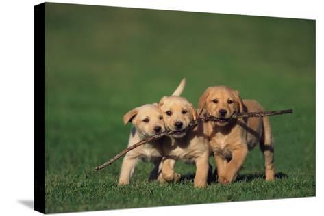 Yellow Lab Puppies Playing with Stick-DLILLC-Stretched Canvas Print