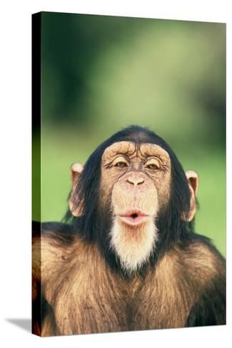 Chimpanzee Puckering its Lips-DLILLC-Stretched Canvas Print