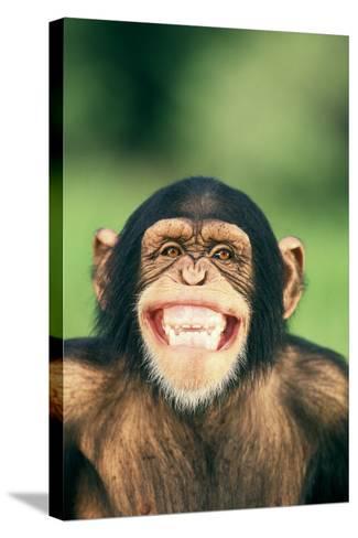 Grinning Chimpanzee-DLILLC-Stretched Canvas Print