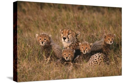 Cheetah Mother and Cubs-DLILLC-Stretched Canvas Print