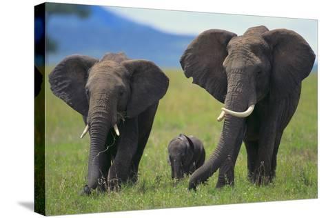 African Elephant Calf Walking between Adults-DLILLC-Stretched Canvas Print
