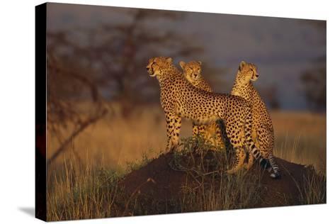 Cheetahs on Mound-DLILLC-Stretched Canvas Print