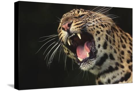 Leopard Growling-DLILLC-Stretched Canvas Print