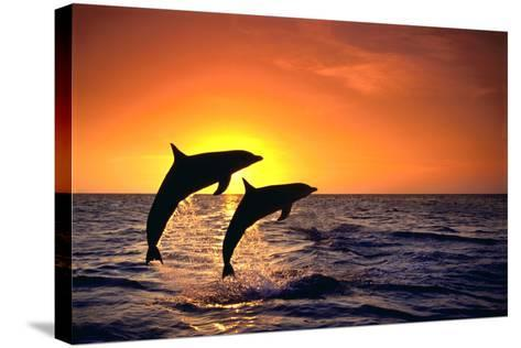 Bottlenosed Dolphins Leaping at Sunset-DLILLC-Stretched Canvas Print