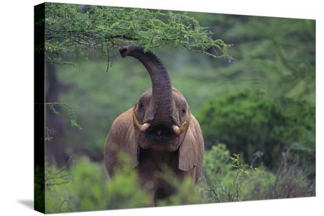 African Elephant Grazing on Tree-DLILLC-Stretched Canvas Print