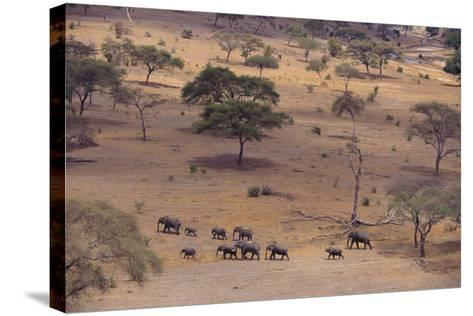 African Elephants Walking in Savanna-DLILLC-Stretched Canvas Print