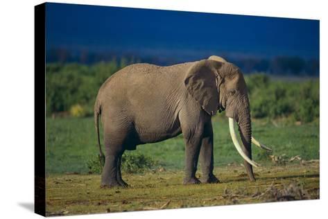 African Elephant on Savanna-DLILLC-Stretched Canvas Print