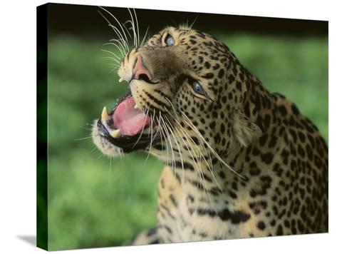 Growling Leopard-DLILLC-Stretched Canvas Print