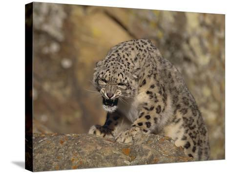Growling Snow Leopard-DLILLC-Stretched Canvas Print