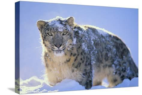 Snow Leopard Covered in Snow-DLILLC-Stretched Canvas Print