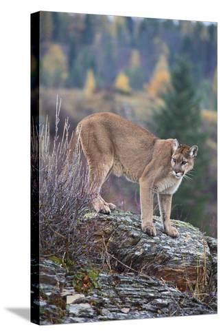 Mountain Lion-DLILLC-Stretched Canvas Print