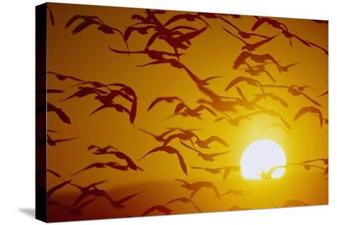 Snow Geese in Flight at Sunset-DLILLC-Stretched Canvas Print