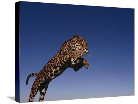 Jaguar Jumping through Sky-DLILLC-Stretched Canvas Print