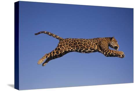 Jaguar Jumping through Sky-DLILLC-Stretched Canvas Print