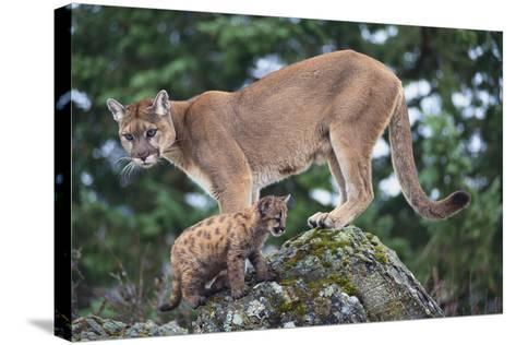 Cougar and Cub-DLILLC-Stretched Canvas Print