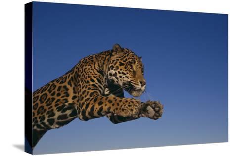Leaping Jaguar-DLILLC-Stretched Canvas Print