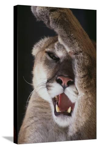 Mountain Lion Rubbing its Face-DLILLC-Stretched Canvas Print