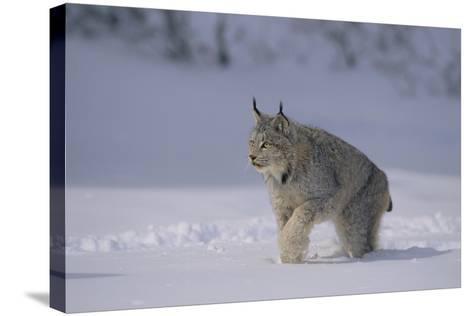 Canada Lynx Walking in Snow-DLILLC-Stretched Canvas Print