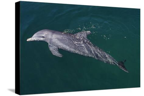 Bottlenosed Dolphin Swimming-DLILLC-Stretched Canvas Print