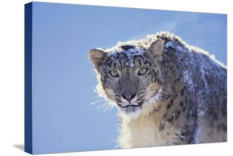 Snow Leopard-DLILLC-Stretched Canvas Print