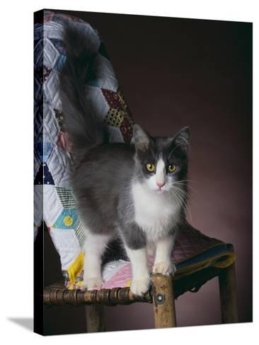 Young Cat Standing on Quilt-DLILLC-Stretched Canvas Print