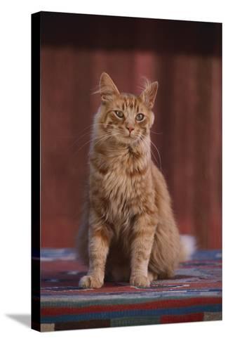 Orange Cat Sitting in Breeze-DLILLC-Stretched Canvas Print