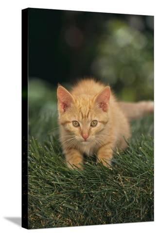 Kitten Crouching in Grass-DLILLC-Stretched Canvas Print