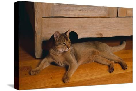 Abyssinian Cat Lounging on Floor-DLILLC-Stretched Canvas Print