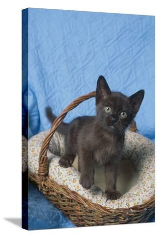 Burmese Kitten in a Basket-DLILLC-Stretched Canvas Print