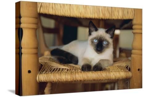 Siamese Cat Lounging on Dining Room Chair-DLILLC-Stretched Canvas Print