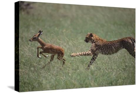 Cheetah Chasing Impala Foal in Grass-DLILLC-Stretched Canvas Print