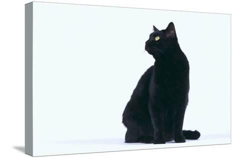 Black Cat-DLILLC-Stretched Canvas Print