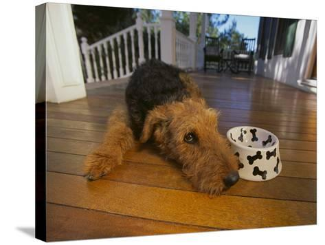 Airedale Terrier-DLILLC-Stretched Canvas Print