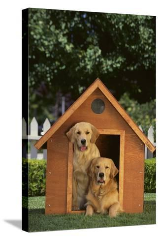 Two Golden Retrievers-DLILLC-Stretched Canvas Print