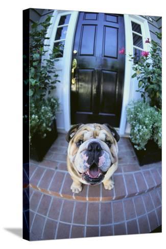 English Bulldog-DLILLC-Stretched Canvas Print