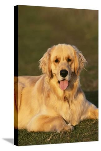 Golden Retriever Relaxing in the Grass-DLILLC-Stretched Canvas Print