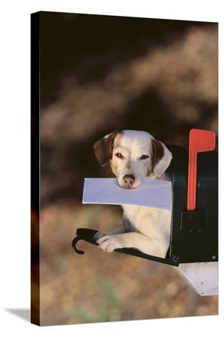 Jack Russell Terrier Fetching the Mail-DLILLC-Stretched Canvas Print
