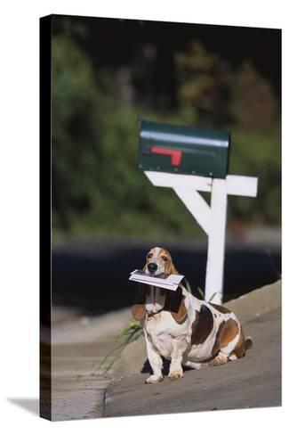 Basset Hound Fetching the Mail-DLILLC-Stretched Canvas Print