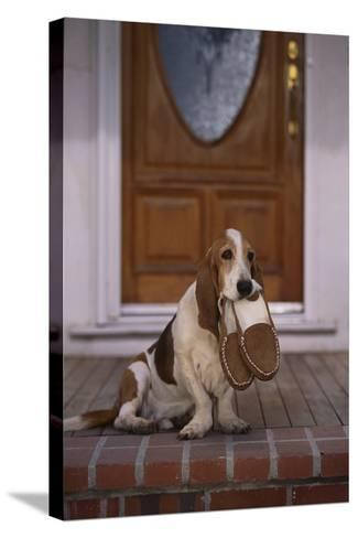 Basset Hound Waiting with Owner's Slippers-DLILLC-Stretched Canvas Print