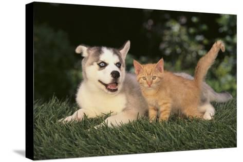 Siberian Husky Puppy and Kitten-DLILLC-Stretched Canvas Print