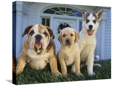 Gang of Dogs-DLILLC-Stretched Canvas Print