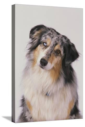 Australian Shepard with Different Color Eyes-DLILLC-Stretched Canvas Print