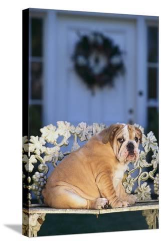 English Bulldog on a Garden Bench-DLILLC-Stretched Canvas Print