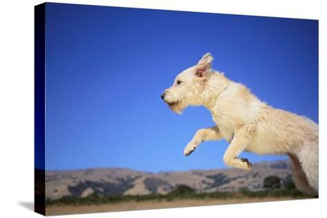 Dog Leaping-DLILLC-Stretched Canvas Print