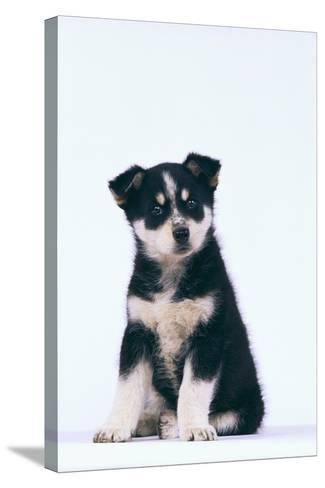 Husky Puppy-DLILLC-Stretched Canvas Print