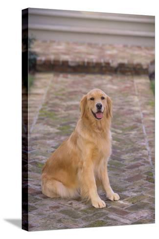 Golden Retriever-DLILLC-Stretched Canvas Print