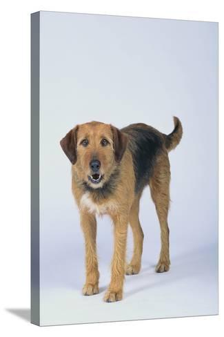 Mixed Breed Dog-DLILLC-Stretched Canvas Print