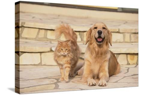 House Cat and Golden Retriever-DLILLC-Stretched Canvas Print